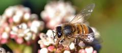 honey bee on Viburnum davidii - another picture (conall..) Tags: closeup raynox dcr250 macro county down tullynacree nw551041 annacloy garden northernireland bee honeybee apis mellifera apismellifera pollination flower pollen load pollenload colour lilac