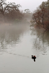 Emerging from the Fog (jan buchholtz) Tags: janbuchholtz fog foggy duck muscovyduck hermannpark houston texas mcgovernlake landscape pond lake solitary solitude