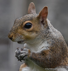 18-DSC_0412 - Grey Squirrel (Sciurus carolinensis) (whiskymac) Tags: greysquirrel sciuruscarolinensis rodent squirrel treerabbit wildlife nature mammal animal