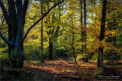 Herfstbos Kranenkamp (Hans van Bockel) Tags: 105mm 1680mm bomen bos d7200 diepenveen frieswijk hansvanbockel herfst kleur kranenkamp lightroom natuur natuurgebied nikkor nikon planten zon fall colours luminar
