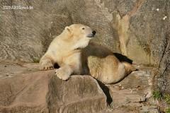 Vera - Charlotte - Eisbären - Tiergarten Nürnberg (ElaNuernberg) Tags: eisbärvera eisbärcharlottealiaslottchen tiergartennürnberg nurembergzoo zoo zootiere zooanimals eisbär polarbear ijsbeer isbjorn ourspolaire orsopolare jääkaru niedźwiedźpolarny ursusmaritimus