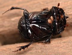 12.5 mm small black dung beetle (ophis) Tags: coleoptera polyphaga scarabaeoidea scarabaeidae scarabaeinae coprini copris coprisminutus smallblackdungbeetle acari parasitiformes mesostigmata parasitina parasitoidea parasitidae parasitinae parasitus