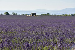 fullsizeoutput_2a28 (bryan_fish) Tags: provence lavender valensole sunflower