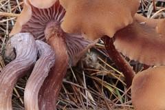 Laccaria bicolor / Laccaire bicolore (Joseph Nuzzolese) Tags: laccaria bicolor laccaire bicolore