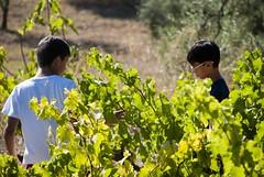 vendemmia (natoilventitremarzo) Tags: bambini ragazzi vigna campagna vendemmia verde colore natura