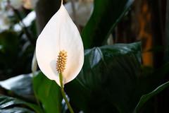 White flower (Tashata) Tags: macro flower light lines leaf lightness lowkey darkness outdoor botanical colors white green closeup soft sony sonyrx10iv carlzeiss zeissvariosonnart