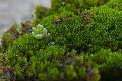 muschio/moss (Pioppo67) Tags: canon 80d muschio moss macromondays macro green verde