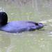 American Coot (Fulica americana); Tucson, AZ, Sweetwater Wetlands [Lou Feltz] (deserttoad) Tags: bird wildbird waterfowl nature reflection water park pond behavior arizona