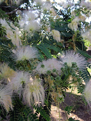 Persian Silk Tree (Sherry Schmidt) Tags: trees plants flowers pod leaves white garden gardening whiteflowers