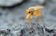 yellow dung fly on dung (conall..) Tags: nikon afs nikkor f18g lens 50mm prime primelens nikonafsnikkorf18g closeup raynox dcr250 macro county down tullynacree nw551041 annacloy field northernireland desenfoque outoffocus narrow dof selective focus yellowdungfly goldendungfly scathophaga stercoraria scathophagidae flyday