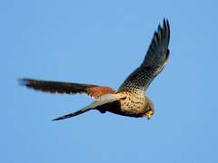 Turmfalke*common kestrel [Falco tinnunculus] (BrigitteE1) Tags: turmfalke commonkestrel falcotinnunculus germany deutschland vogel bird falke rüttelflug vögel aves falco falken male specanimal