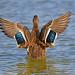 Mallard Duck (cwnlsl) Tags: