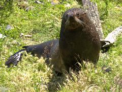 Fur seal (Victor Engmark) Tags: taiaroahead newzealand outdoor seal furseal grass animal mammal