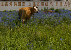 Cow In A Field, Lijiang, China (Eric Lafforgue) Tags: a0007857 agriculture animal asia china chinesescipt colorpicture grass greencolor horizontal lijiang nopeople yunnan yunnanprovince