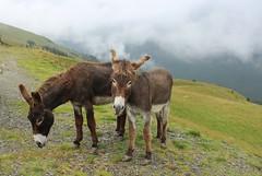 Donkeys on the Transalpina road / EXPLORE!! (Ibolya Mester) Tags: