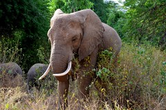 Coming Your Way by Jim (alpenglowtravelers) Tags: elephant kenya samburu wildlife africa