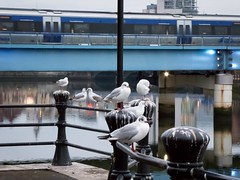 20190111 Waterfront residents (an_extract_of_reflection) Tags: belfast river waterfront seagull bird reflection bridge train morning riverside riverlagan