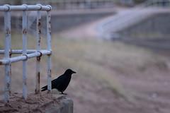 Crow with a view (PeskyMesky) Tags: aberdeen aberdeenbeach crow bird birdwatching nature scotland longlens zoom canon canon5d 5d eos