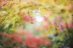 Untitled (けんたま/KENTAMA) Tags: autumn leaves mapleleaves bokeh momiji 紅葉 色づきはじめ 秋 eos6d f14 50mm もみじ かえで japan fall 黎明 omen 前兆 changing 変化 dreamy spiritual