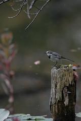 DSCF6572 (jojotaikoyaro) Tags: bird animal nature wildlife suginami tokyo japan fujifilm xh1 xf100400mm