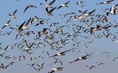 Gulls in flight (Wild Chroma) Tags: gull inflight birds nonpasserines portugal ludo faro riaformosa