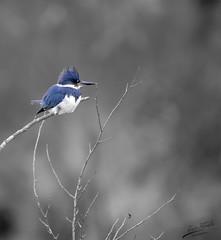 Kingfisher In Winter (esimagecapture) Tags: bird kingfisher winter sitting blue desaturated washington refuge nikon d7200 ericsteele photography juliabutlerhansen wildlifereserve naturereserve birds cathlamet
