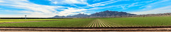 Panoramic View Of Lettuce Field (http://fineartamerica.com/profiles/robert-bales.ht) Tags: arizona farming fineart flickr haybales landscape people photo photouploads places scenic states welton winterlettuce sunrise yellow mountains farm crop truckfarm lettuce agriculture farmphotography yuma imperialvalley southwest arizonaphotography panoramic sensational spectacular awesome magnificent peaceful inspirational robertbales sceniclandscapephotography green greetingcards farmlandscape rill iphone vegetable romaine sonoradesert pano