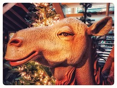 Relax! Take it easy... #camel #kameel #animal #animals #animalphotography #loveanimals #animallover #nativityscene #kerststal #christmasdecoration #kerstdecoratie #christmasshow #kerstshow #portrait #portraits #portret #lovephotography #photography #photo (Chantal vander Reijden) Tags: portret loveanimals christmasdecoration kerstdecoratie portraits kerststal portrait inside animallover lovephotography fotografie animalphotography fotograaf christmasshow kameel camel animal photographer animals kerstshow travel photography nativityscene