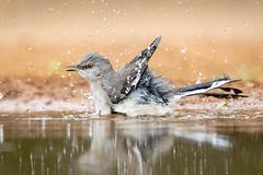 Happy bath (tspine) Tags: northernmockingbird santaclararanch texas