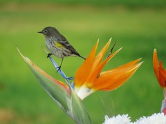 Yellow-rumped Warbler perched upon Bird of Paradise (weezerbee9) Tags: