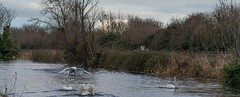 FIGHTING SWANS [ ROYAL CANAL BETWEEN BROOMBRIDGE AND ASHTOWN]-148321 (infomatique) Tags: birds swans fight wildlife nature water canal royalcanal canalwalk sony a7riii batis zeiss 135mmlens williammurphy infomatique fotonique ireland