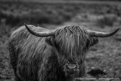 DSCF0321 (Klaas / KJGuch.com) Tags: assen drenthe drentslandschap nederland netherlands thenetherlands nature natuur landscape hiking walking outandabout xpro2 fujifilm afterworkwalk afterworkwalks eveningwalk winter cow cows herd animal animals