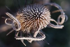 Tangled (Hugobian) Tags: teasel teasle flora nature light sun frost ice backlight macro fairlands valley stevenage pentax k1 lake