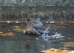 N02A6765bis (tineandthecats@gmail.com) Tags: baignade merle toilette ornitho oiseaux birds