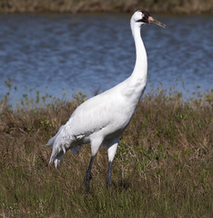 Whooping crane (lifer) (77406 Photography (Mark)) Tags: whooping crane