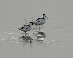 Photo of Two Avocets