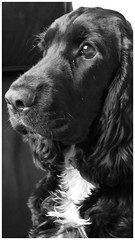 Owen (My English cocker spaniel) (mibric) Tags: cocker spaniel anglais portrait chien dog