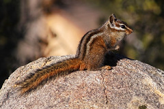 Merriam's Chipmunk on rock (Robyn Waayers) Tags: merriam'schipmunk tamiasmerriami neotamiasmerriami chipmunk chipmunks robynwaayers