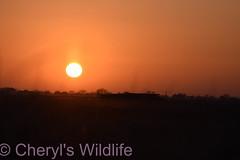 Sunset Burwell Fen (Cheryl's Wildlife) Tags: wildlife nature suffolk rspb birds 20182019 birdwatching nikon sigma photography east eastanglia naturereserve wildlifetrust thefens nationaltrust