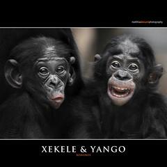 XEKELE & YANGO (Matthias Besant) Tags: affe affen affenfell animal animals ape apes pygmychimpanzee fell zwergschimpanse hominidae hominoidea mammal mammals menschenaffen menschenartig menschenartige monkey monkeys primat primaten saeugetier saeugetiere tier tiere trockennasenaffe bonobo schauen blick blicken augen eyes look looking baby yango xekele bonobobaby child kind zoo zoofrankfurt matthiasbesant jungtiere bonobokinder tierkinder tierbabys hessen deutschland friends