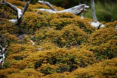 Fern 'flowering' (BlueMtsGrandma) Tags: cradlemountain tasmania fern bracken flowering