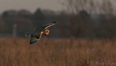 Short Eared Owl-0794 (WendyCoops224) Tags: 100400mml 80d fens canon eos ©wendycooper short eared owl asio flammeus