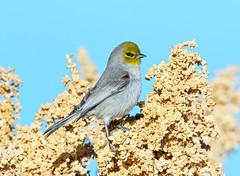 Verdin (Ed Sivon) Tags: flickr wildlife western wild america canon nature lasvegas southwest clarkcounty desert vegas bird henderson nevada