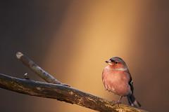 Buchfink (generalstussner) Tags: buchfinkfringillacoelebs buchfink commonchaffinch singvogel songbird ansitz ast branch bokeh sunlight spotlight nature natur wildlife bird canon