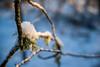 Snowy lichen (Tor Langli) Tags: sunshine sun karlstad sverige landscape tree nature landskap wintersun scandinavia lichen winter sweden natur snow