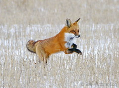 January 26, 2019 - A red fox bounds through a field in Adams County. (Bill Hutchinson)