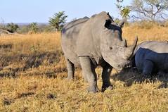 DSC_8175 còpia (SLVA49) Tags: rinoceronte sabana africana hierba seca arboles cielo montes nikon d300s