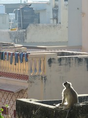 pushkar 2019 (gerben more) Tags: pushkar monkey rajasthan animal