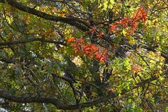 A Red Punch (Modkuse) Tags: velvia fujifilmxt2velvia fujifilmxt2velviasimulation nopostprocessing trees autumn fall fallcolors leaves nature natural tree art artphotography photoart fineartphotography fineart fujifilm fujifilmxt2 xt2 xf55200mmf3548rlmois fujinon fujinonxf55200mmf3548rlmois