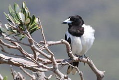 Pied Butcherbird  241018 (1) (F) (Richard Collier - Wildlife and Travel Photography) Tags: wildlife naturalhistory birds australia australianbirds piedbutcherbird